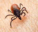 "Thumbnail image Brush up on Your ""Tick Awareness"" This Summer"