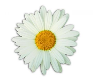 Picture of a daisy