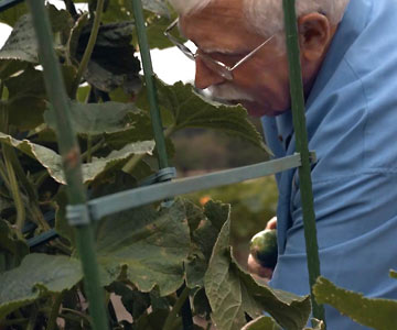 Jim picking cucumbers.
