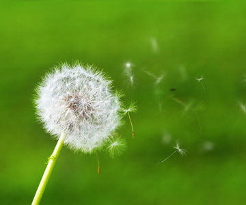 Dandelion-Blowing-001-CO