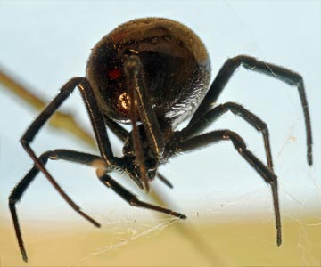 Black widow spiders build erratic webs and like to like in dark corners and woodpiles.