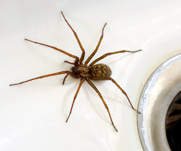 The giant house spider is large but mostly harmless.