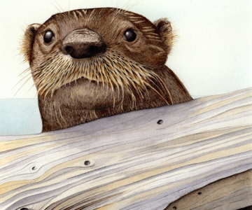 close up watercolor and pen drawing of a river otter peeking over a log