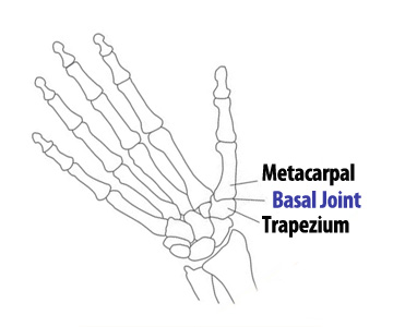 The bones  and joint of the thumb,